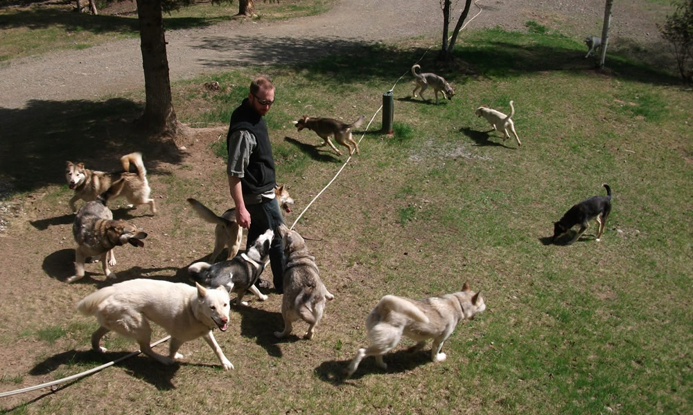 Justin Savidis plays with the dogs at home in Willow, a town that is also the Iditarod's starting point.