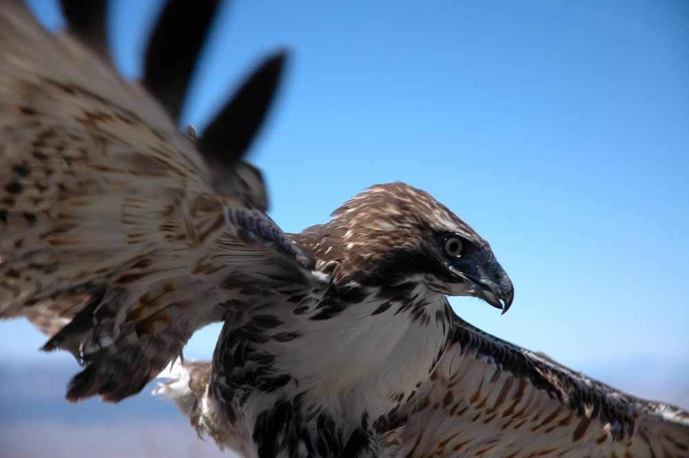 A hawk takes flight in the Goshute Mountains of Nevada. Hawk sounds are included in the U library's collection. (Photo by Kenning Arlitsch)