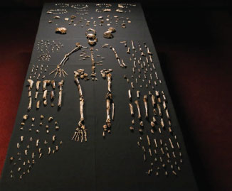 A nearly complete skeleton of Homo naledi and numerous other bones and bone fragments so far retrieved from the Dinaledi Chamber. Photo by John Hawks, Wits University