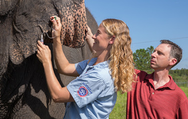Schiffman watches as veterinarian Ashley Settles takes a blood sample from one of the herd at the Ringling Bros. Center for Elephant Conservation. Photo courtesy Ringling Bros.